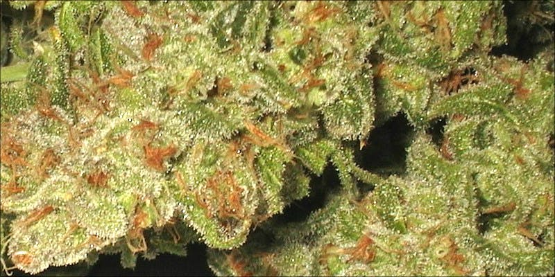 Pharma Red 1 10 Best Indica Strains To Round Off Your 420 Celebrations