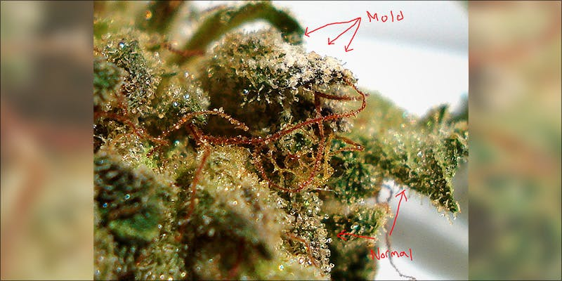Why Smoking Moldy 2 This Is Why Smoking Moldy Weed Can Make You Sick