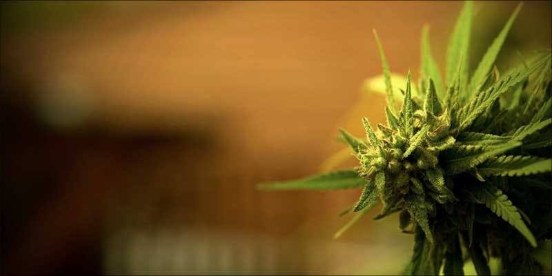 The Complete Guide 1 Everything You Need To Know About CBD Strains And Extracts
