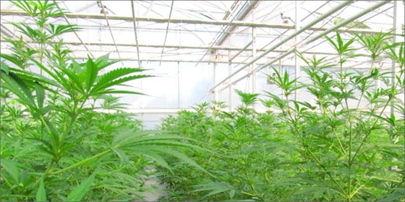 growing weed