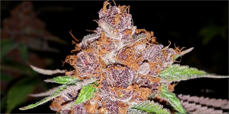 purple urkle