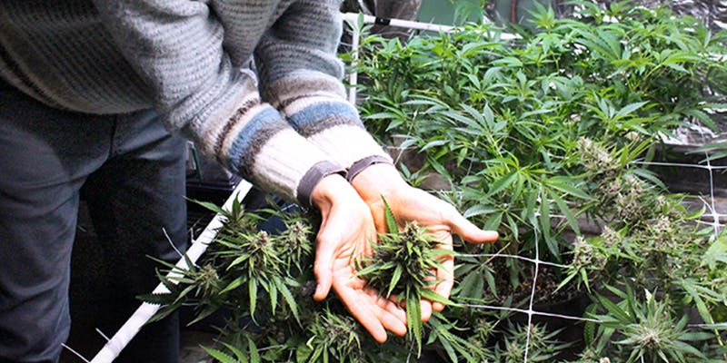 Cannabis Jobs Count 1 New Report Reveals 150,000 Americans Now Work in the Cannabis Industry