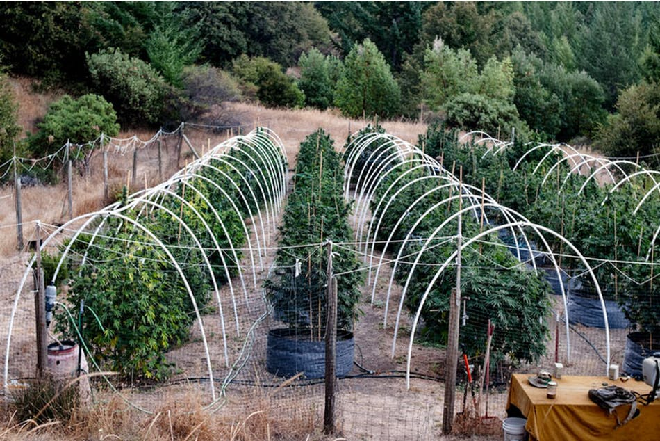 Emerald Triangle 8 of 24 People Are Being Arrested For Driving High, Even Though Theyve Never Smoked Weed
