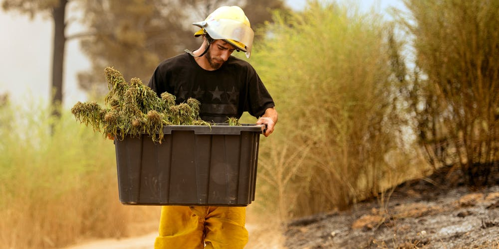 California Wildfire marijuana crops threatened