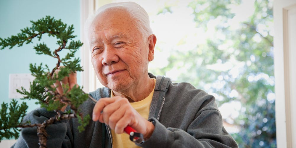Senior Japanese man pruning bonsai tree