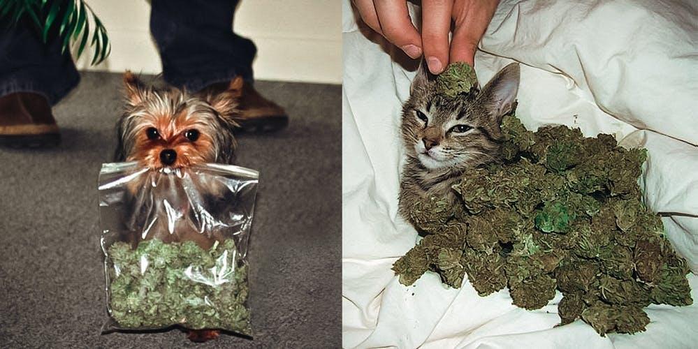 Treat Pets with cannabis edible weed marijuana herb cat dog