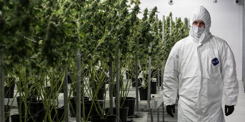 tweed largest weed factory