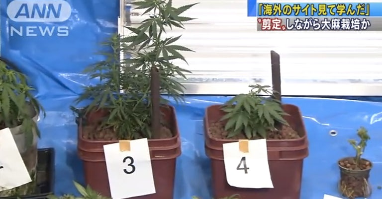 A Japanese Janitor Grew Weed By Disguising His Plants As Bonsai Trees Herb