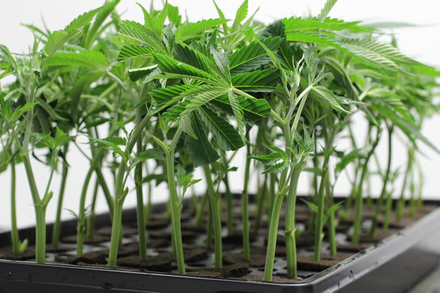 First Texas Marijuana Grow Ops Coming Soon 4 of 4 How robots could run the future cannabis industry, from farming to delivery