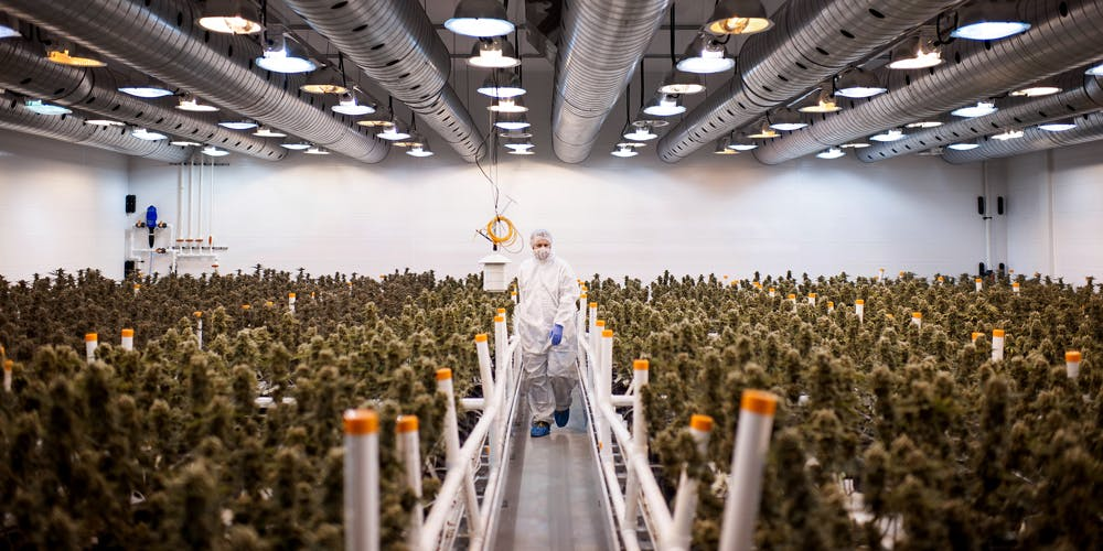 An employee checks nearly matured medical marijuana plants in a climate controlled growing room