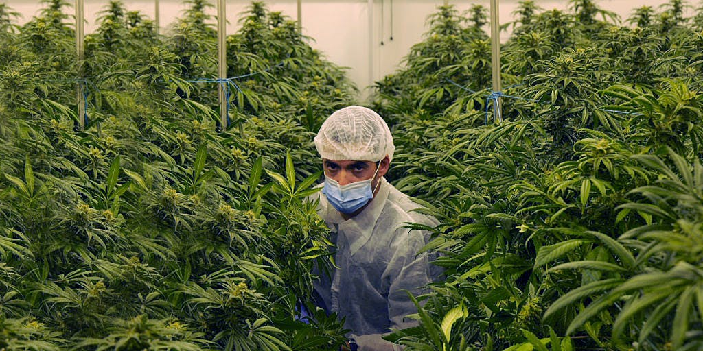 Man in Cannabis Production plant