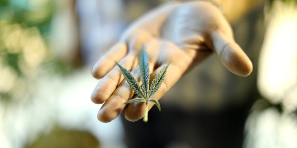 Cannabis leaf in the palm of a hand.