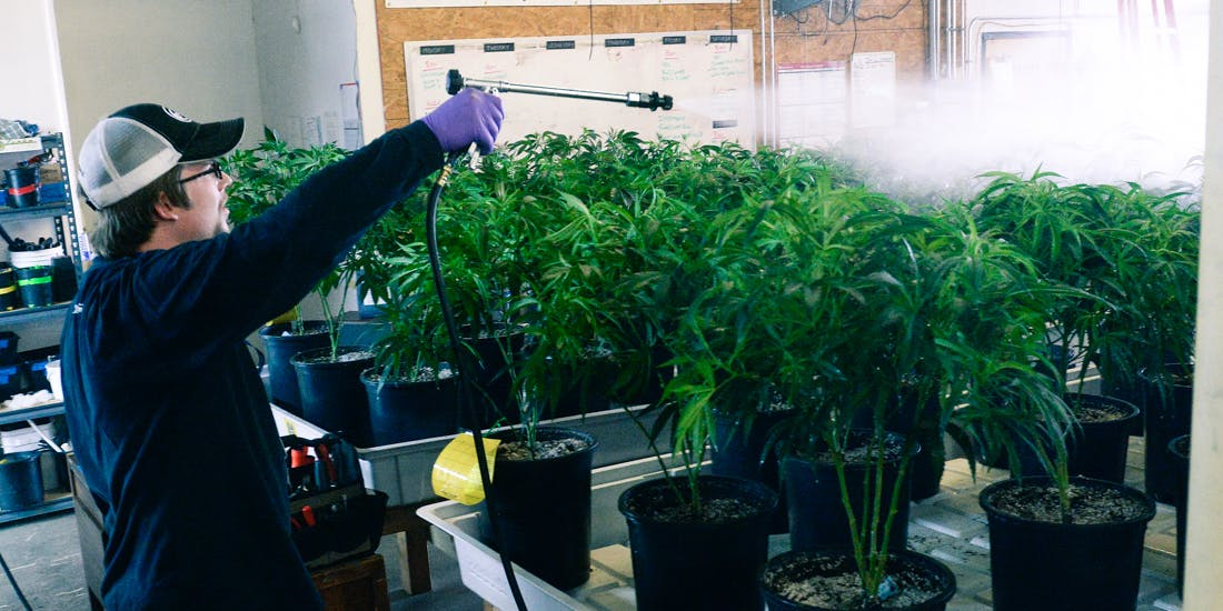 he head grower at L'Eagle sprays the marijuana plants at their cultivation room in Denver to combat spider mites and mildew.