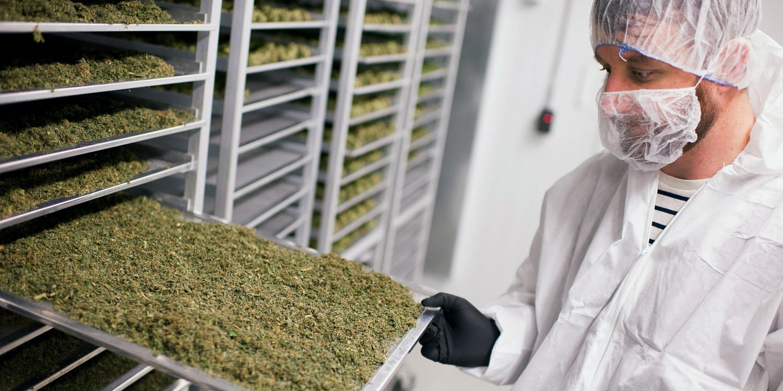 An employee displays a tray of medical marijuana plant cuttings drying