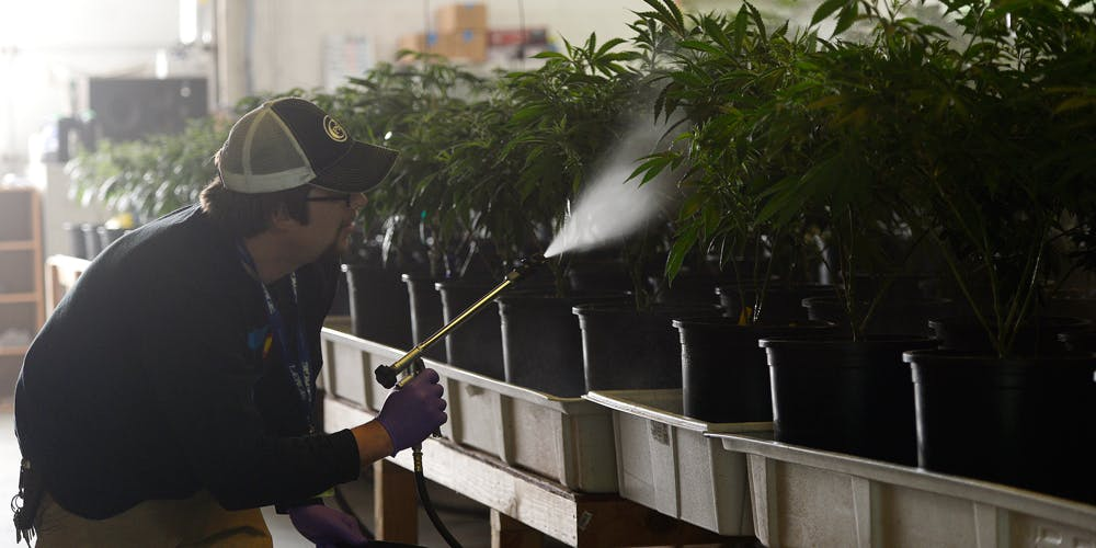 Man spraying pesticides on cannabis plants
