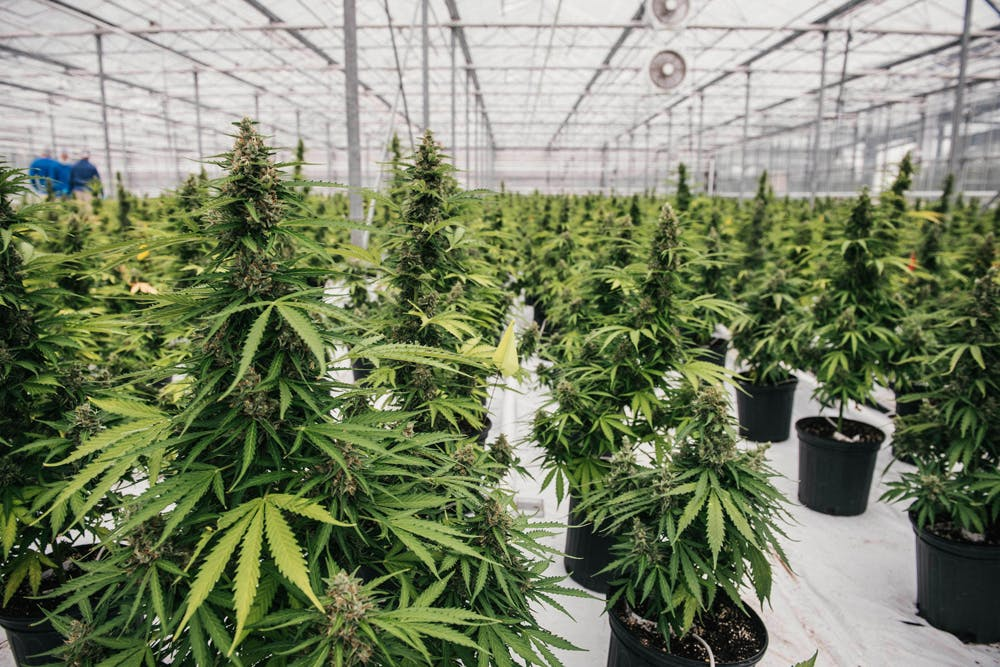 Canopy Growth2 The government holds a patent on medical marijuana, yet claims it has no medical value
