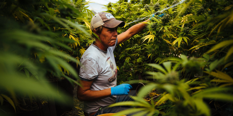 Cannabis Farmer Calaveras County