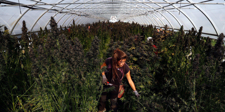 Cannabis worker in a feild