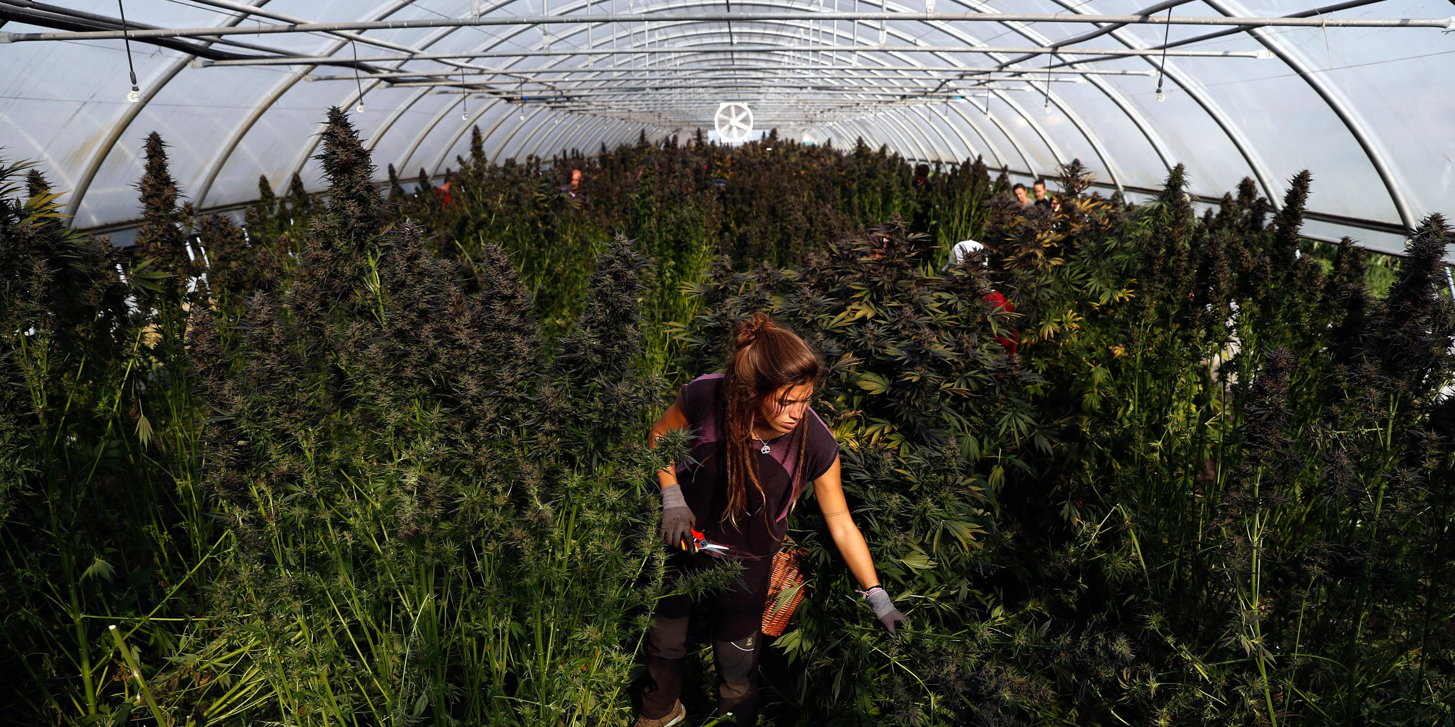 Cannabis worker in a feild