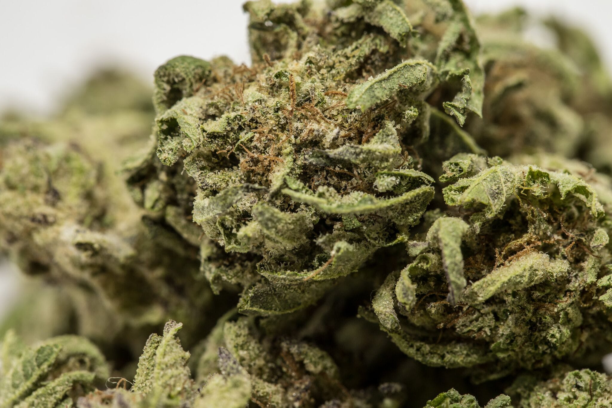Cookie Monster Weed; Cookie Monster Cannabis Strain; Cookie Monster Indica Marijuana Strain