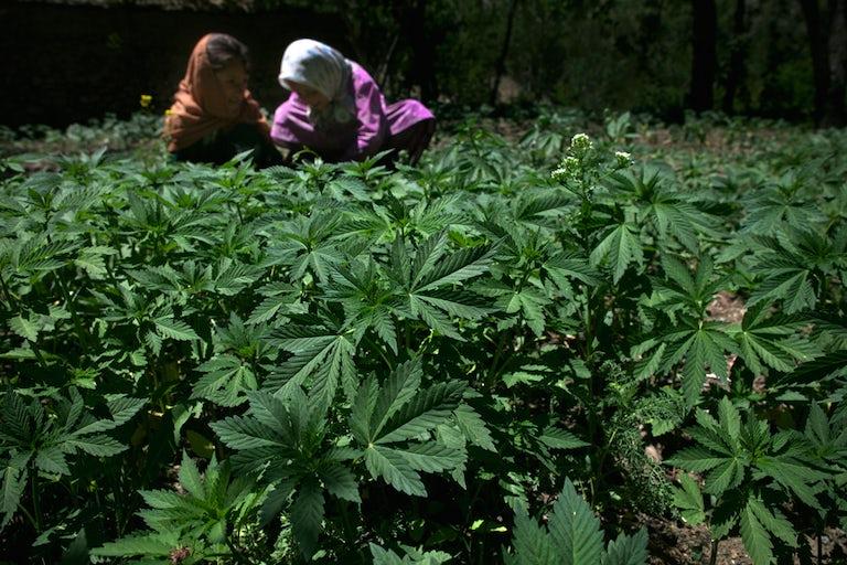 marijuana herb