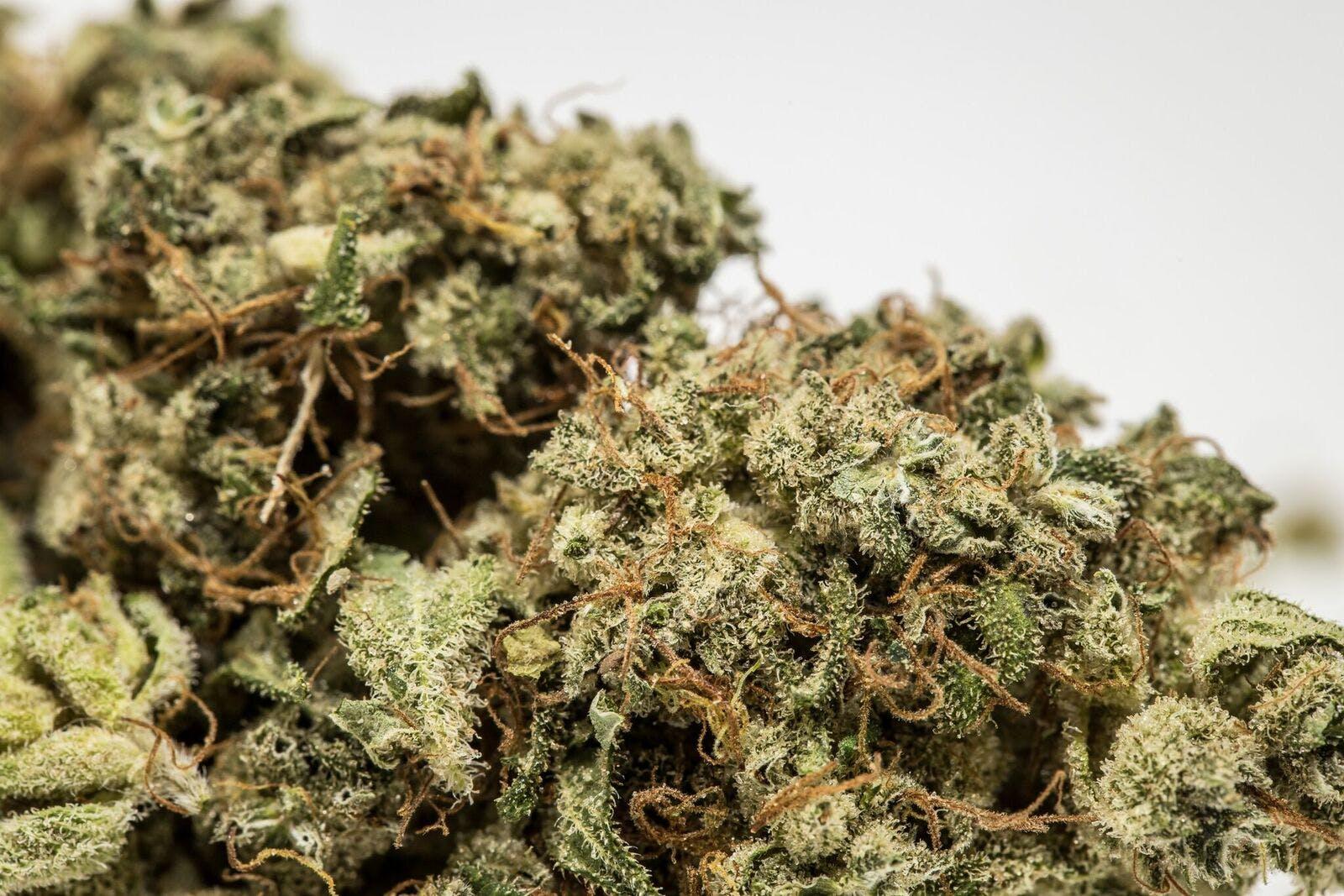 Pandora's Box Weed; Pandora's Box Cannabis Strain; Pandora's Box Sativa Marijuana Strain