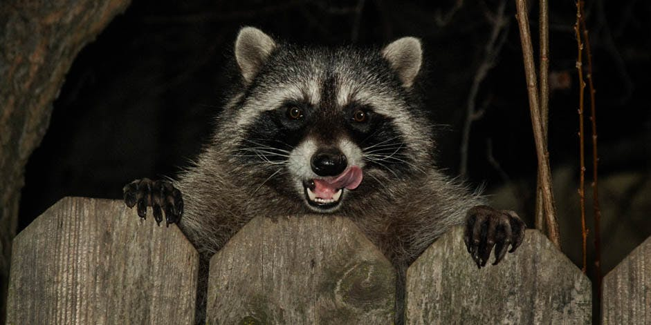 Raccoon Taken To A Fire Station After It Ate Too Much Weed