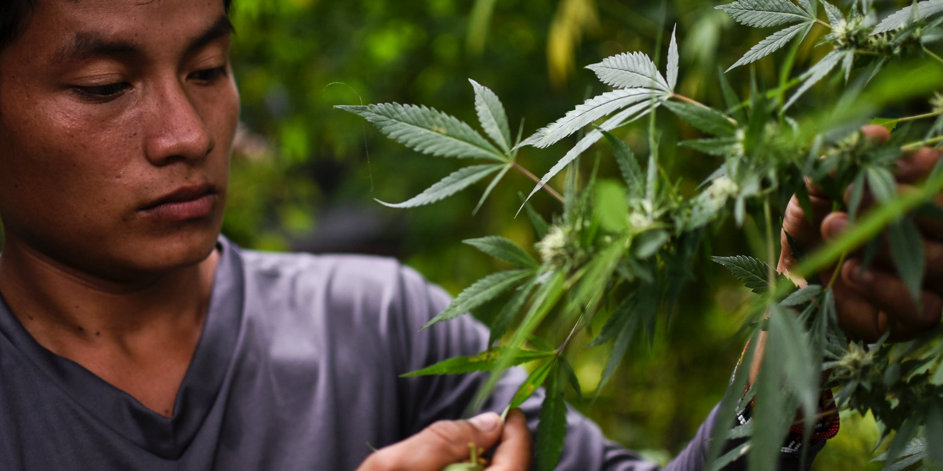 Colombia may soon become a world supplier of medical marijuana