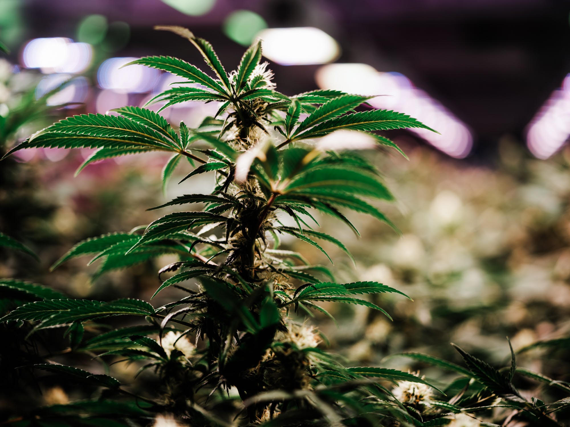 Green Relief 1 of 16 For The First Time, Thailand Seriously Considers Legalizing Medical Marijuana