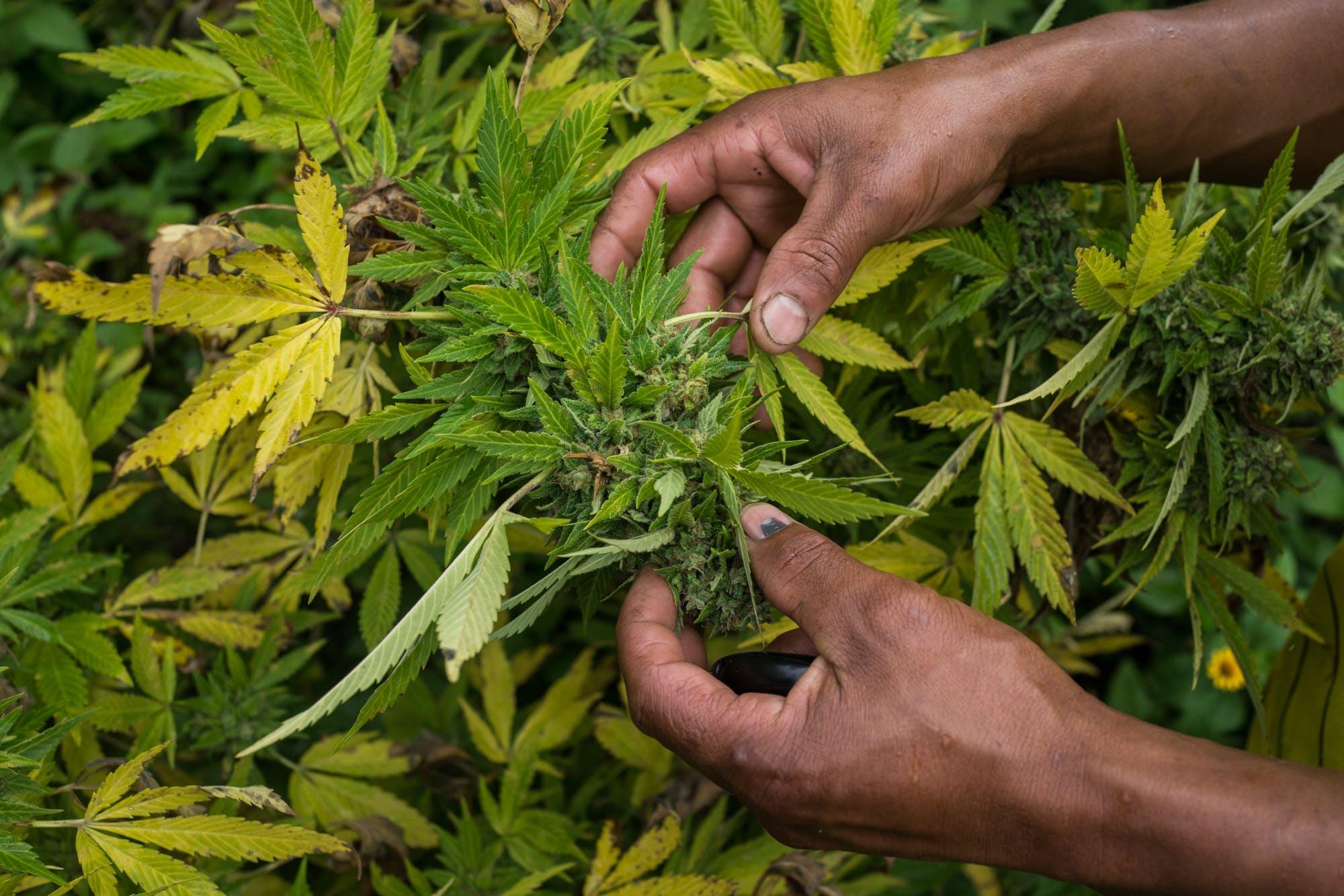 Nicolas Enriquez Marijuana   23 Its Official: Michigan is set to vote on recreational marijuana this fall