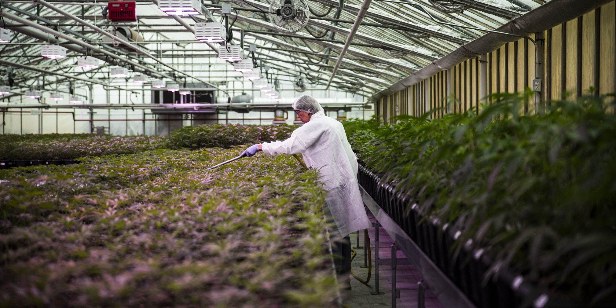 Man working in a marijuana grow-op (Americas largest liquor distributor, Southern Glazer's, just entered the Canadian weed market)