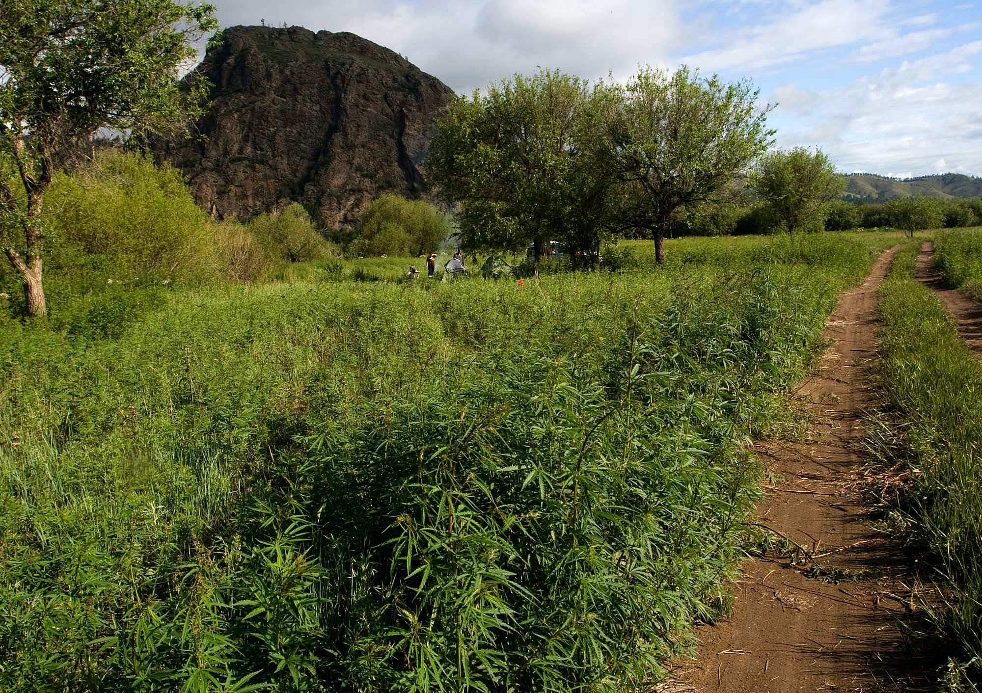 Cannabis used to grow wild in Europe but went extinct before first farmers arrived research finds Congress Blocks Recreational Marijuana Sales In Washington, D.C.
