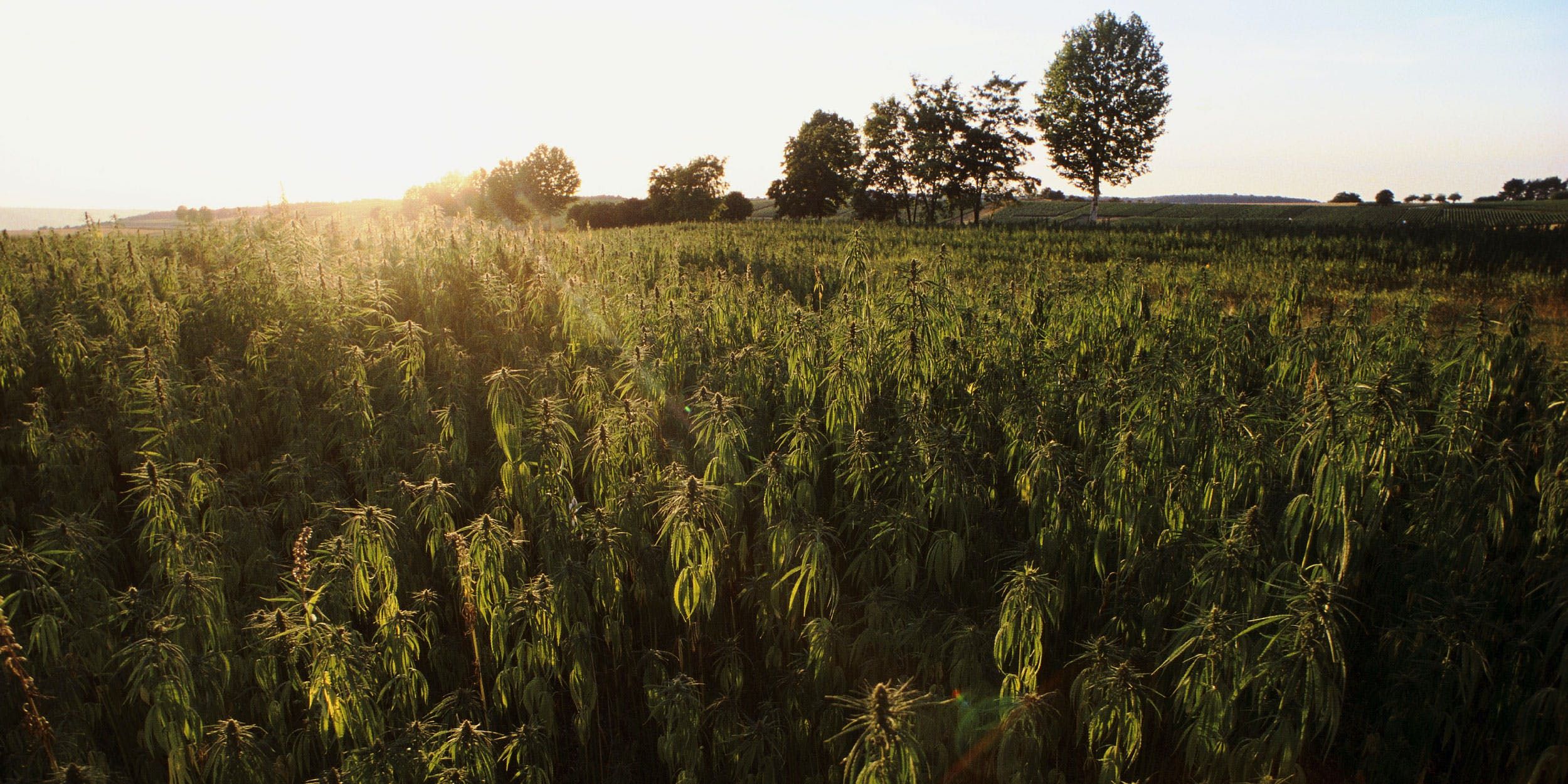 Cannabis Field in France. Meadows of cannabis once used to cover regions in ancient Europe.