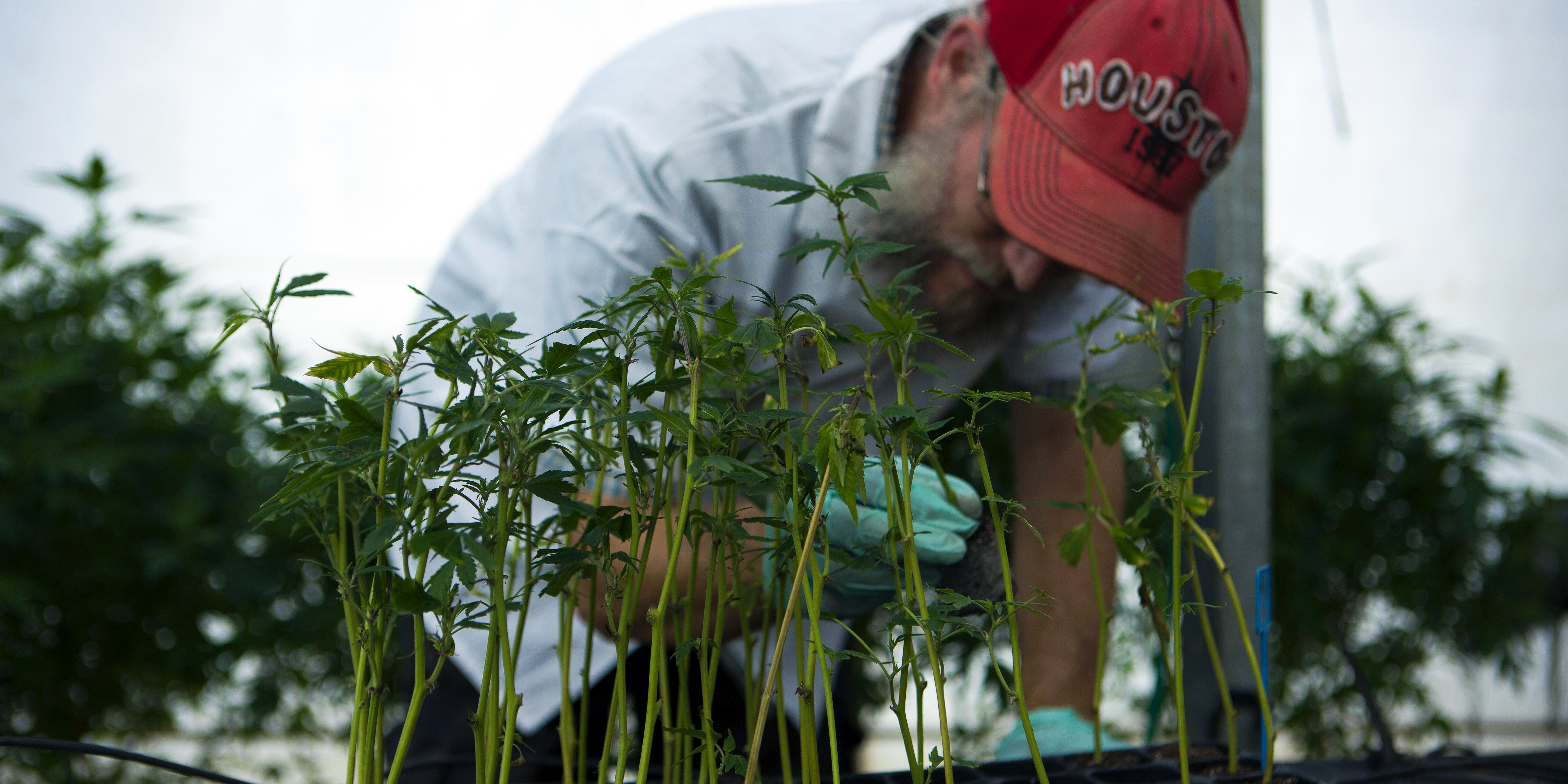 An Israeli man works on marijuana saplings at the Tikum Olam greenhouse just outside of Safed, Israel. The acclaimed greenhouse has been cultivating flower for cannabis research. (Photo by Menahem Kahana/AFP/Getty Images)
