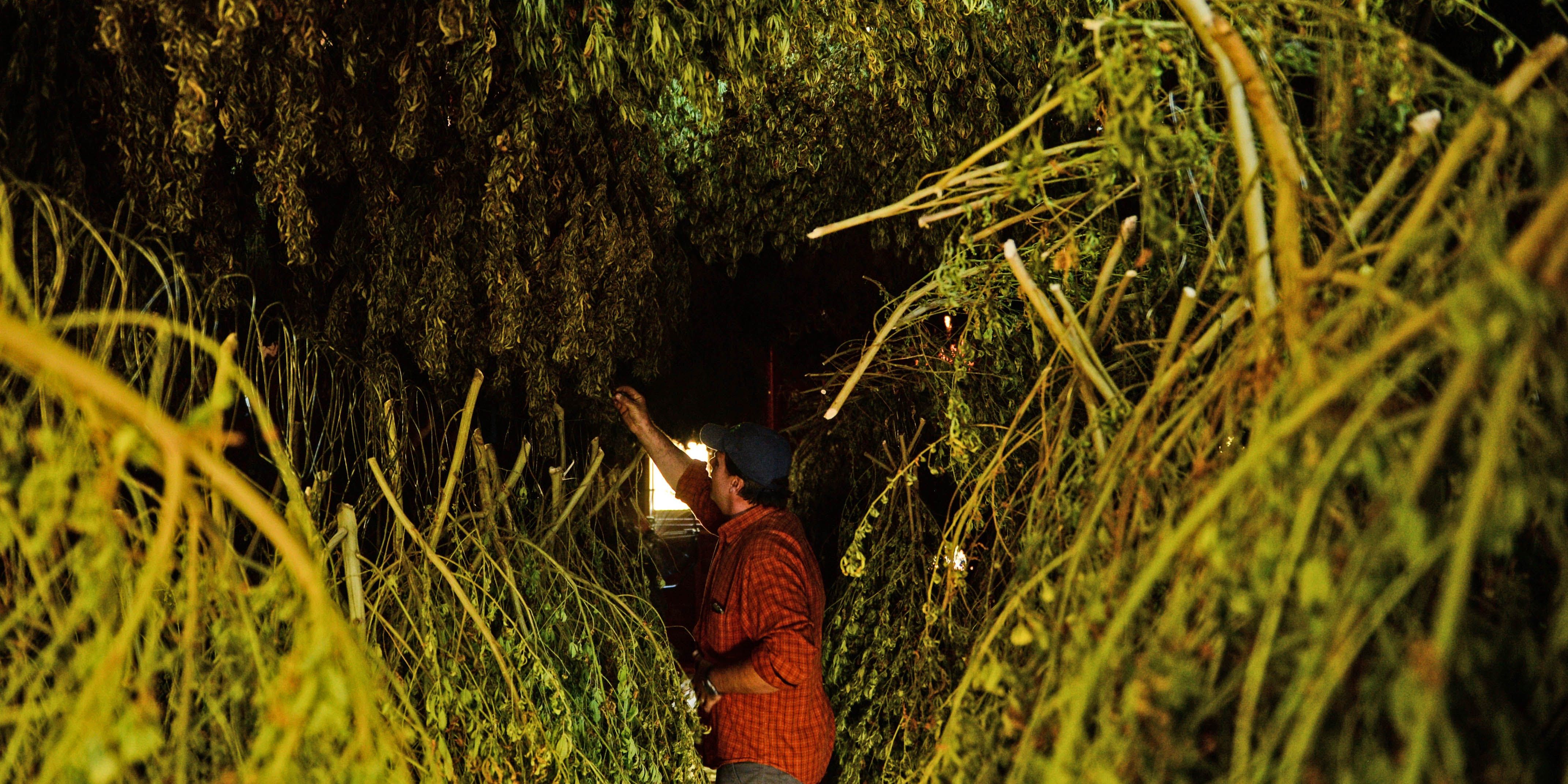Man reaching for a hemp plant drying from the ceiling