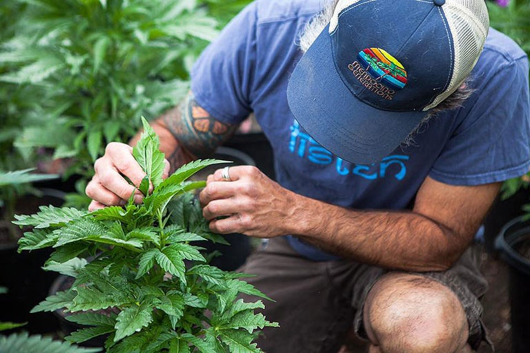 What Its Like To Be Married To A Cannabis Farmer In Humboldt 8 Arizona Candidate For Governor, Noah Dyer, Says He Was Fired From His Day Job For Supporting Legalization