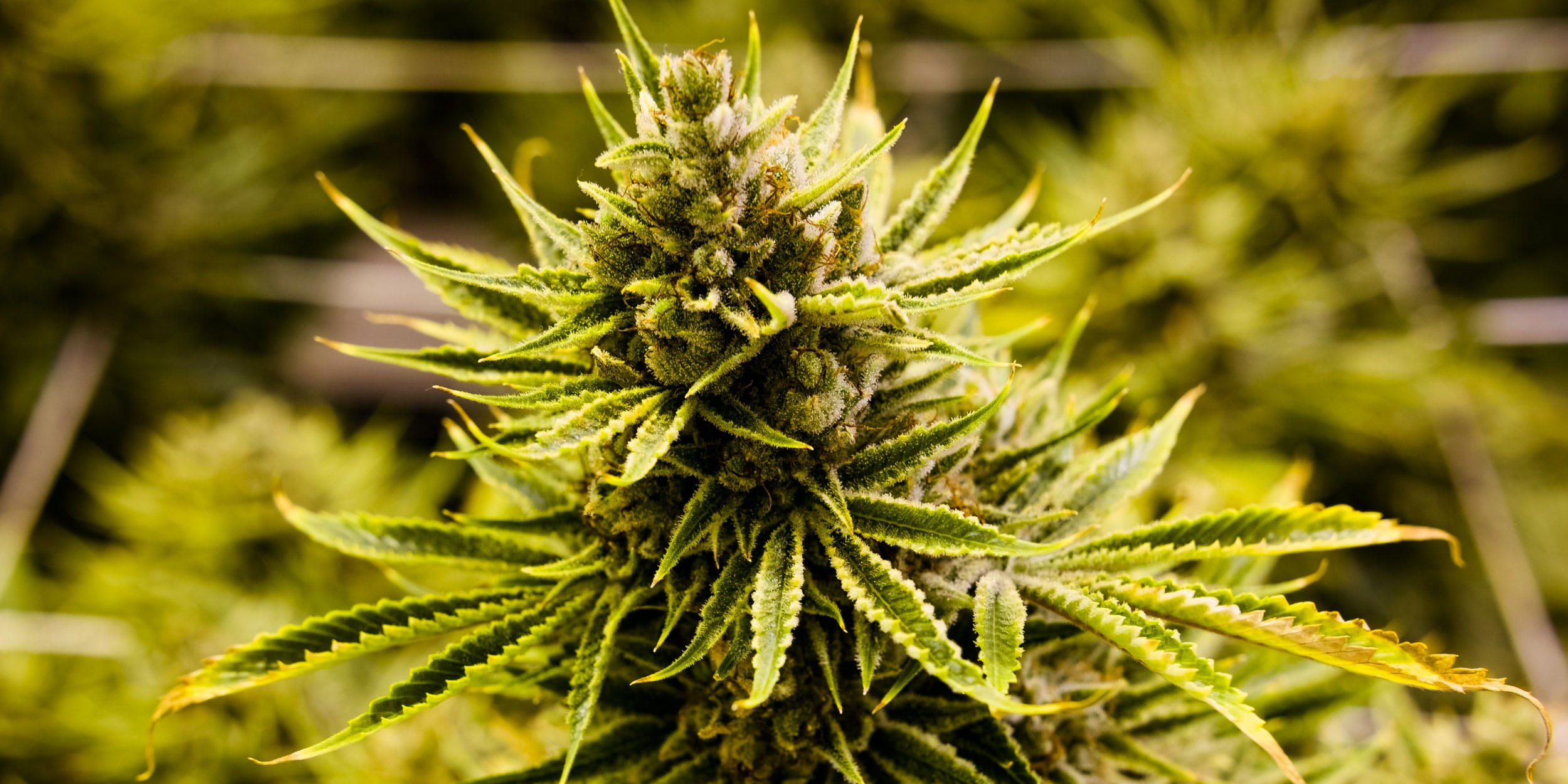 The Difference Between Primary and Secondary Cannabis Terpenes