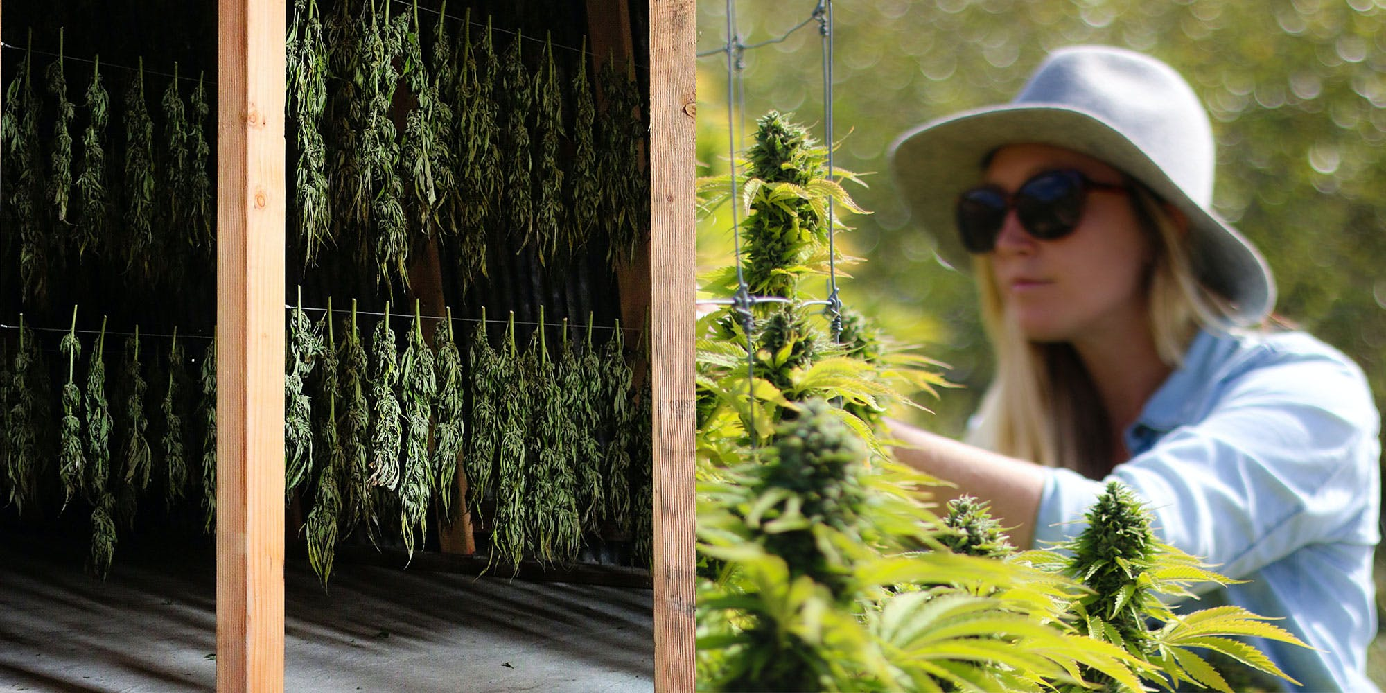 Woman tending to Cannabis plants in Humboldt, California