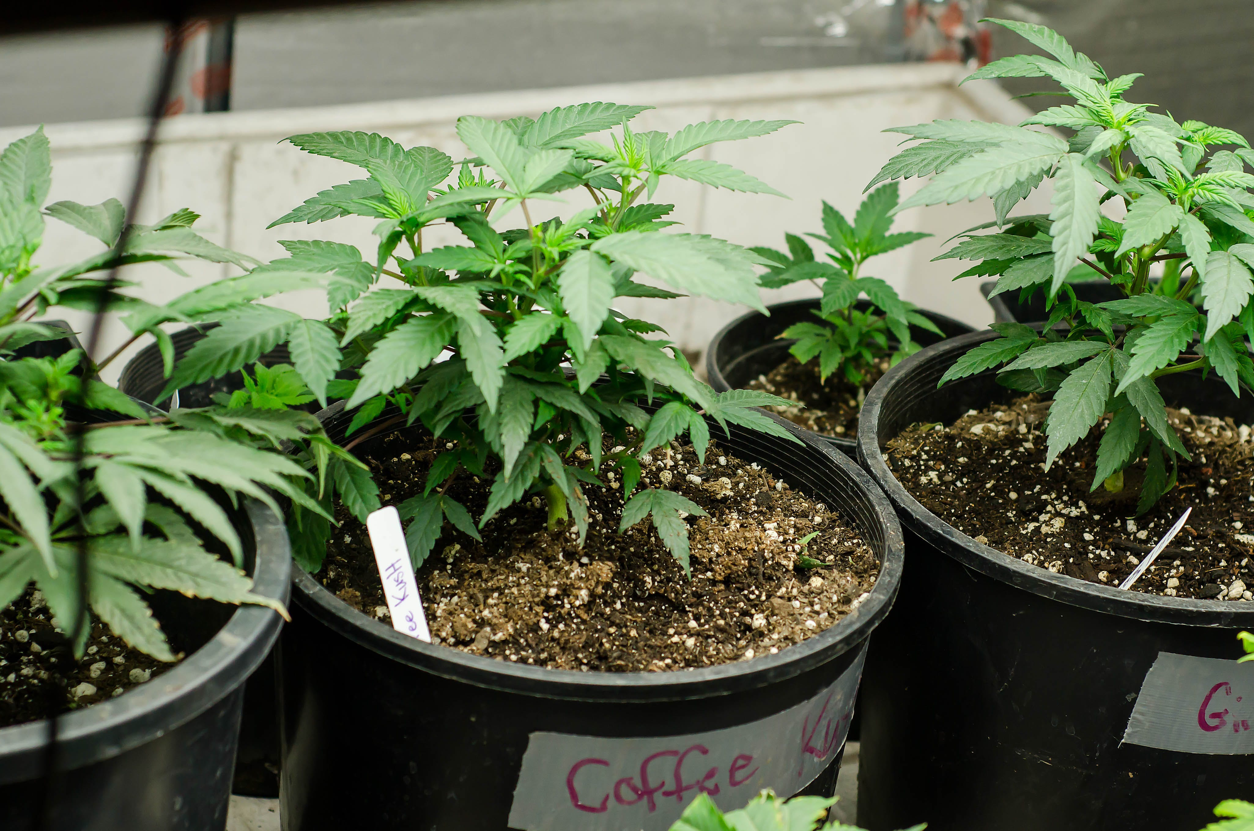 12160781894 117ecde17a o Cannabis Cafes In Paris Are Trying To Claim The Bud They Sell Isnt For Smoking
