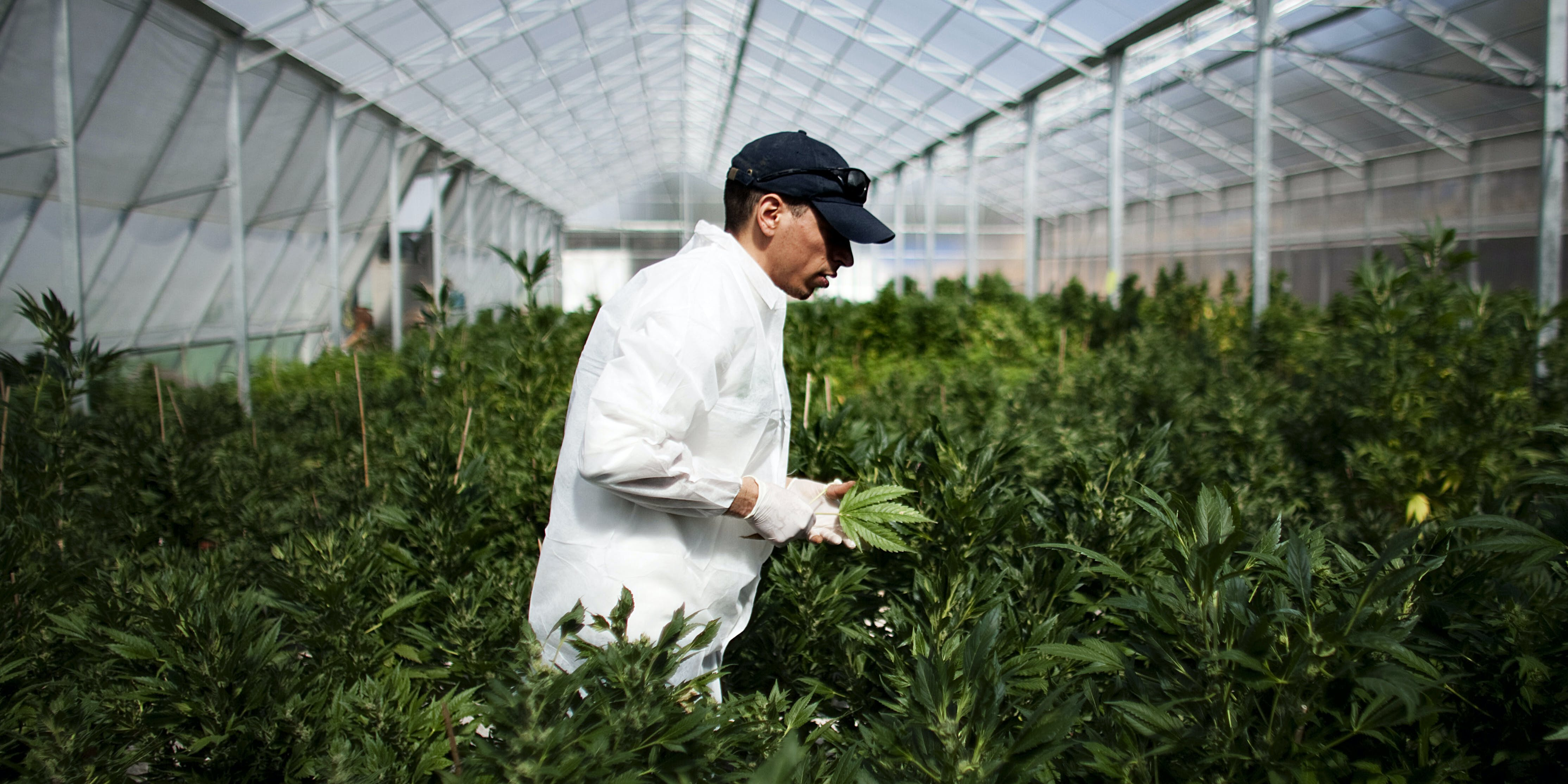 SAFED, ISRAEL - MARCH 07: A worker at a cannabis greenhouse at the cultivation facility of the Tikun Olam company on March 7, 2011 near the northern city of Safed, Israel. (Photo by Uriel Sinai/Getty Images)