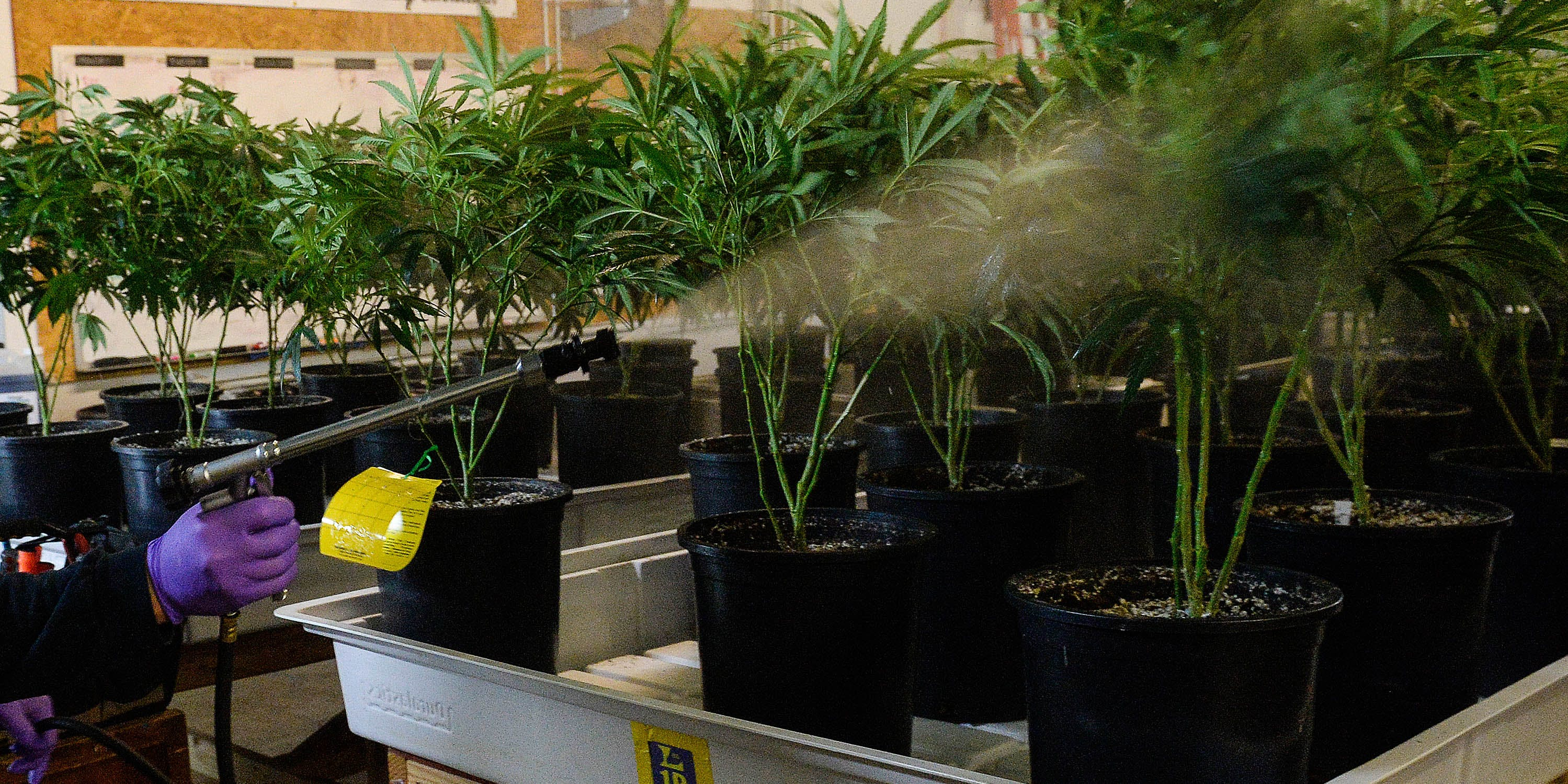 Toxic pesticide use rising at illegal California marijuana farms