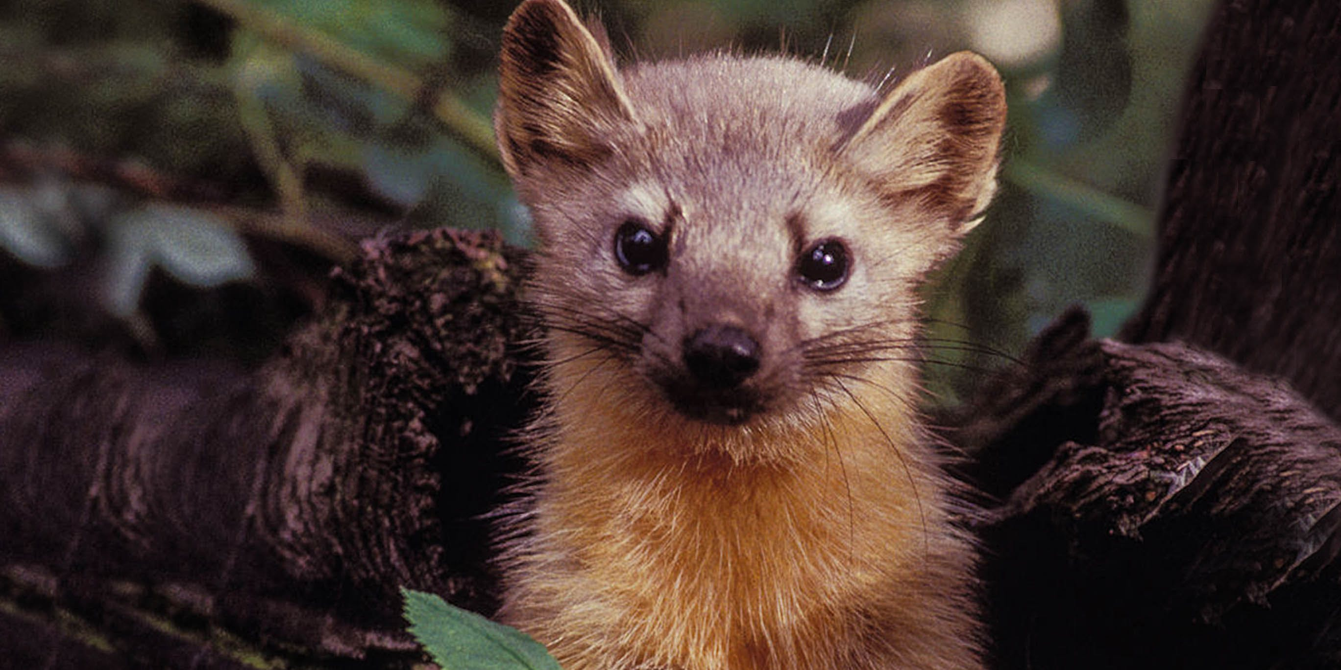The Pine Marten Becomes The Latest Species Threatened By Irresponsible Weed Farms