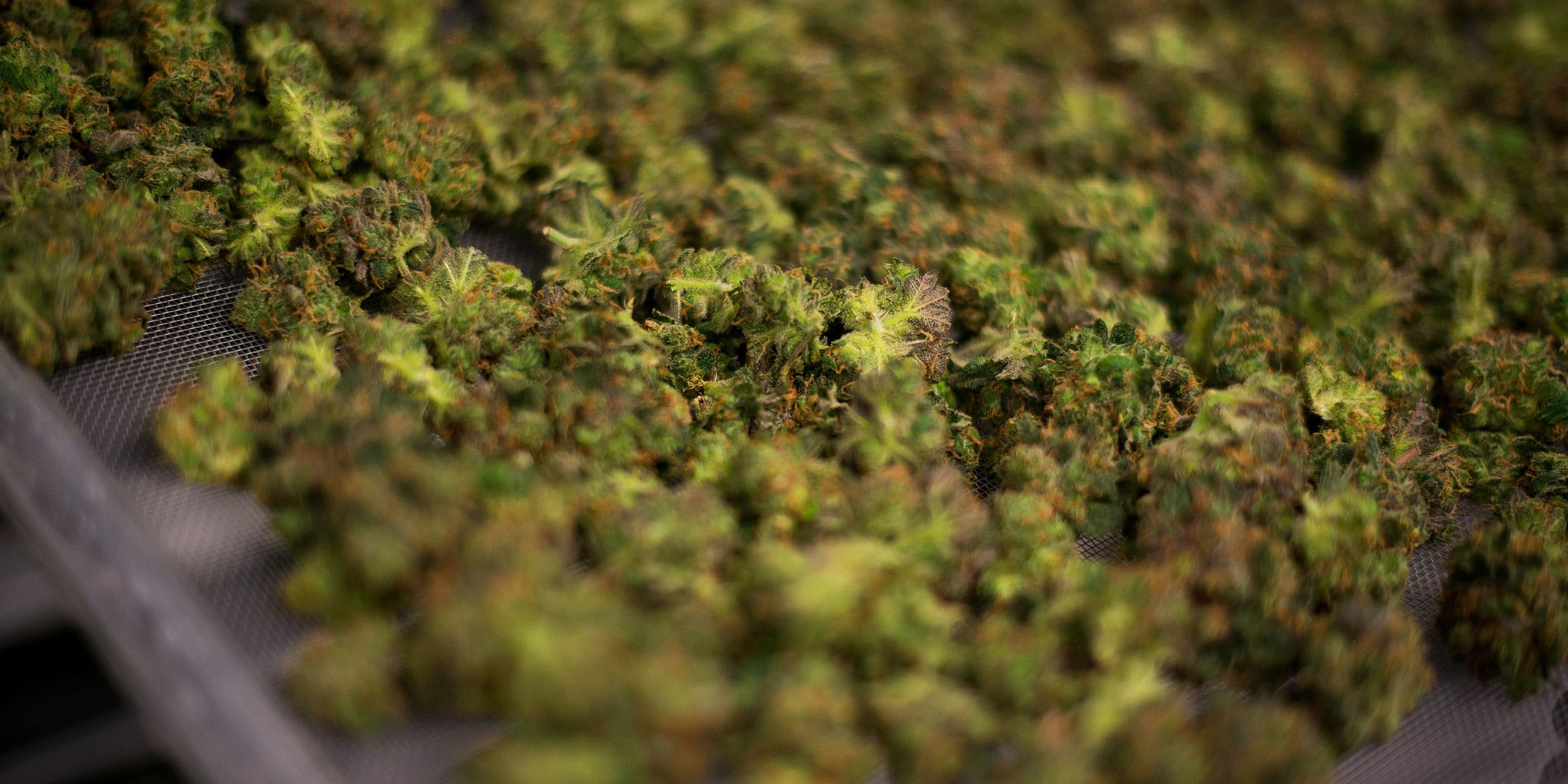 What To Do When Weed Gets Wet: The Complete Guide