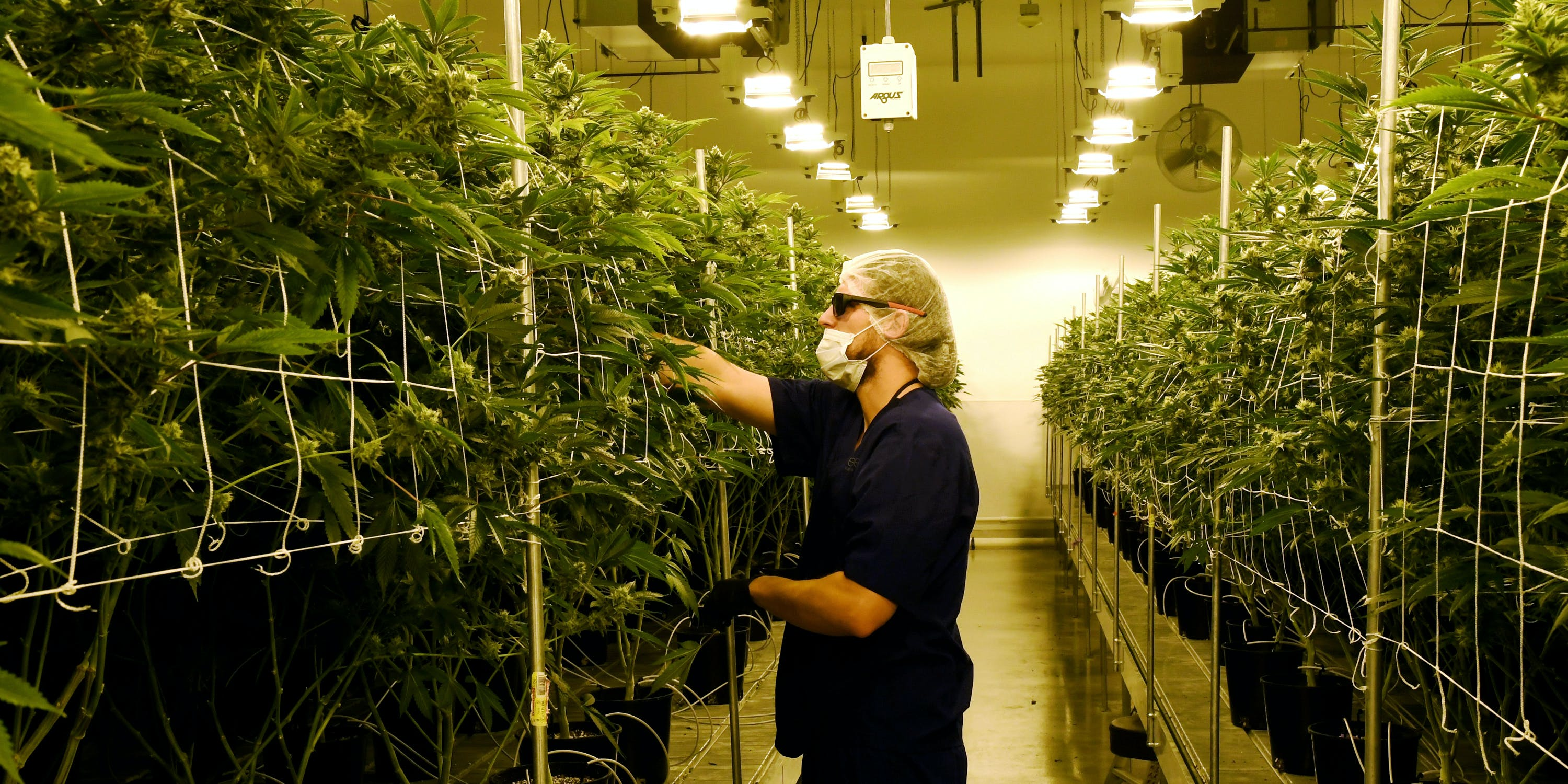 Worker examines plants in a Las Vegas, Nevada based Cannabis facility. Indoor cannabis grows are said to use an extraordinary amount of light and energy. That's why in many states they qualify for energy grants, but Maine won't be one of them.