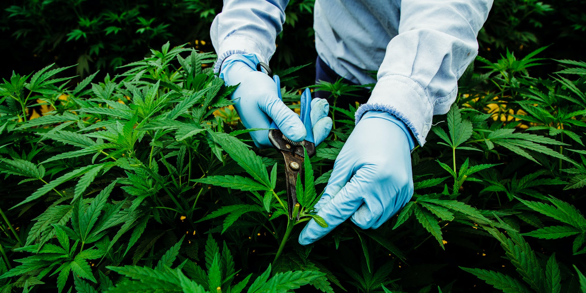 A worker at Pharmacielo trimming cannabis