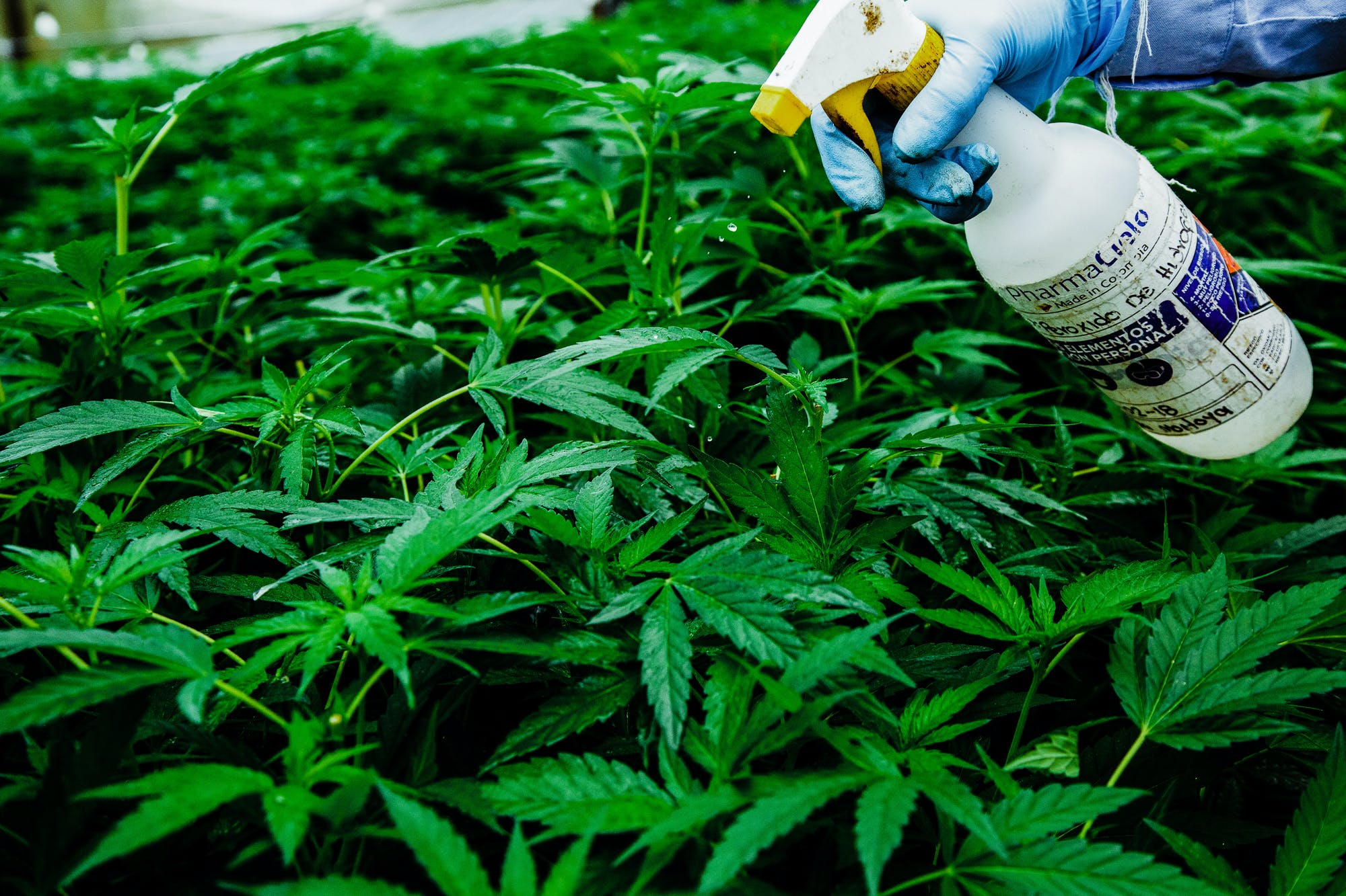 Pharmacielo could become a leader in the global medical cannabis market 13 Cannabis Consumers Would Rather Pay a Premium Than Buy Product From the Black Market: Study