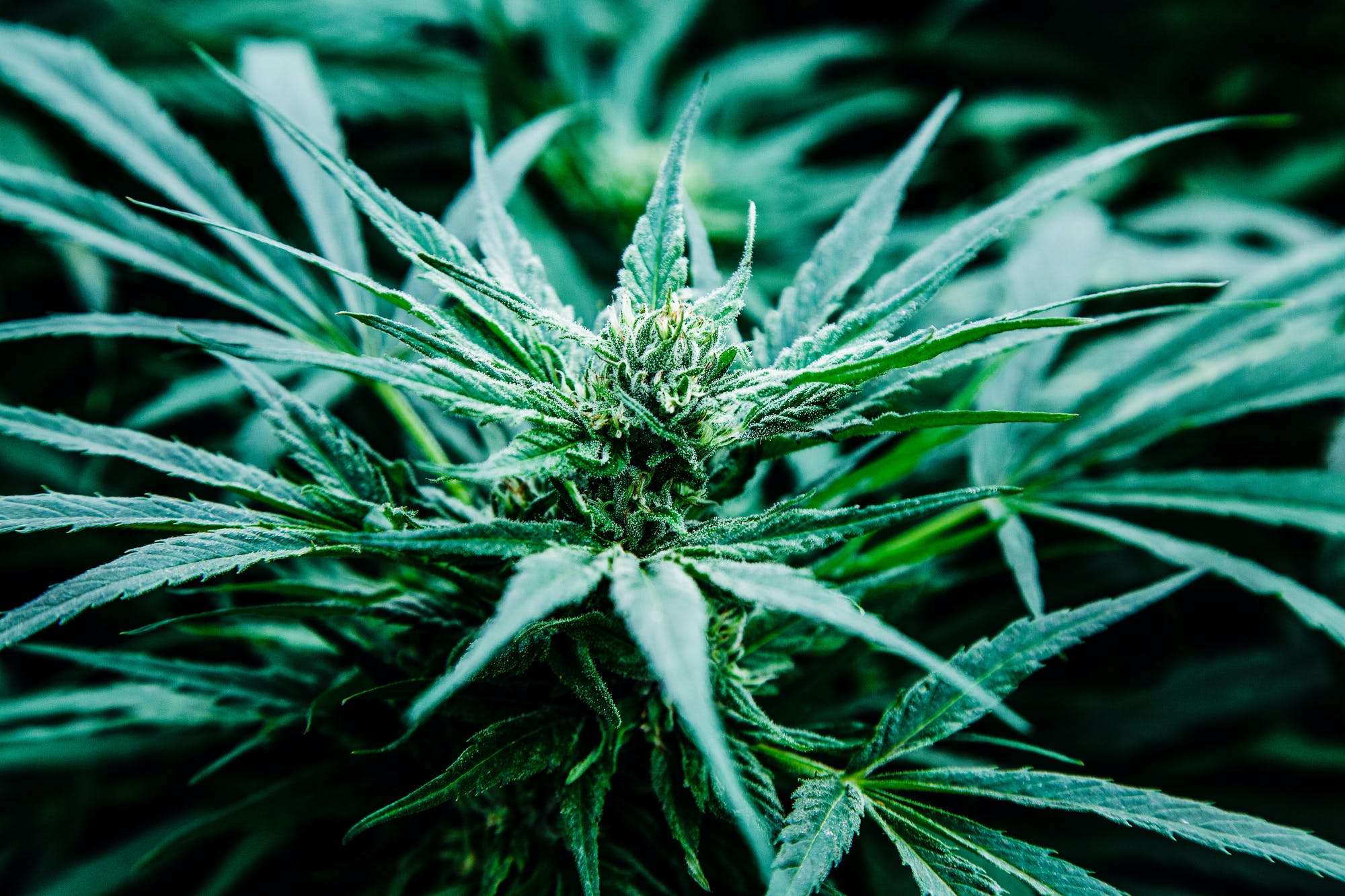 Pharmacielo could become a leader in the global medical cannabis market 23 Cannabis is Legal in Vermont, But Gifting it Isnt