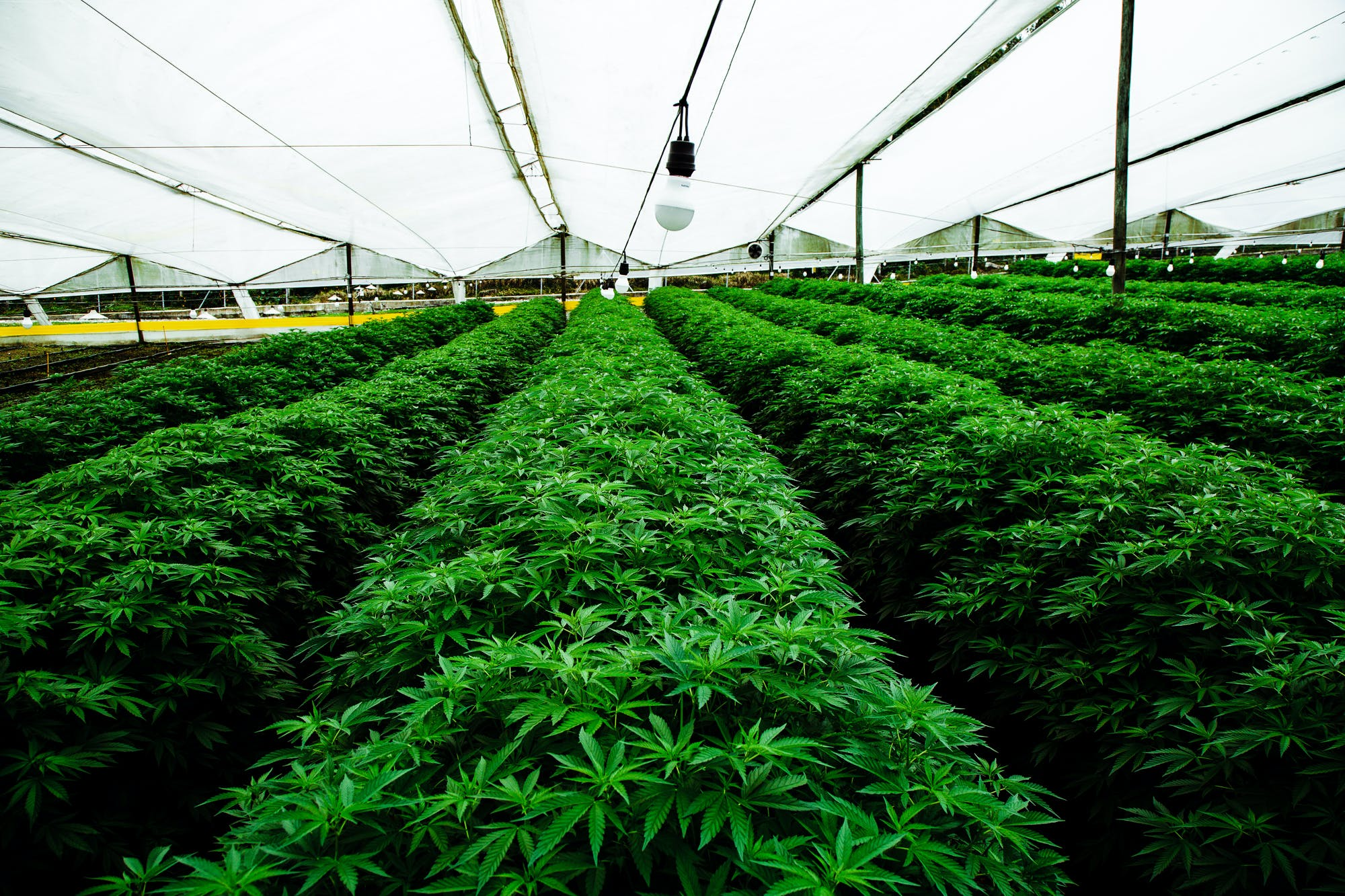 Pharmacielo could become a leader in the global medical cannabis market 6 Cannabis is Legal in Vermont, But Gifting it Isnt