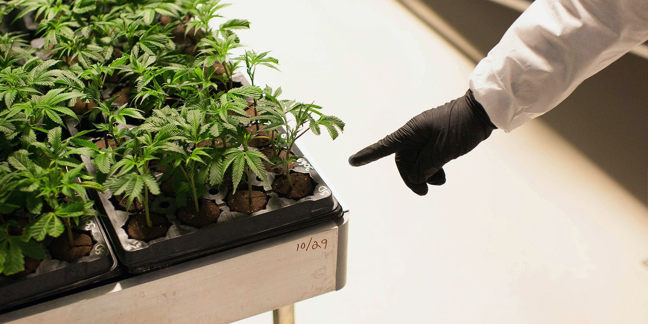 Cuttings from mother cannabis plants germinate in a grow room at the Tweed Inc. facility in Smith Falls, Ontario, Canada, on Nov. 11, 2015.