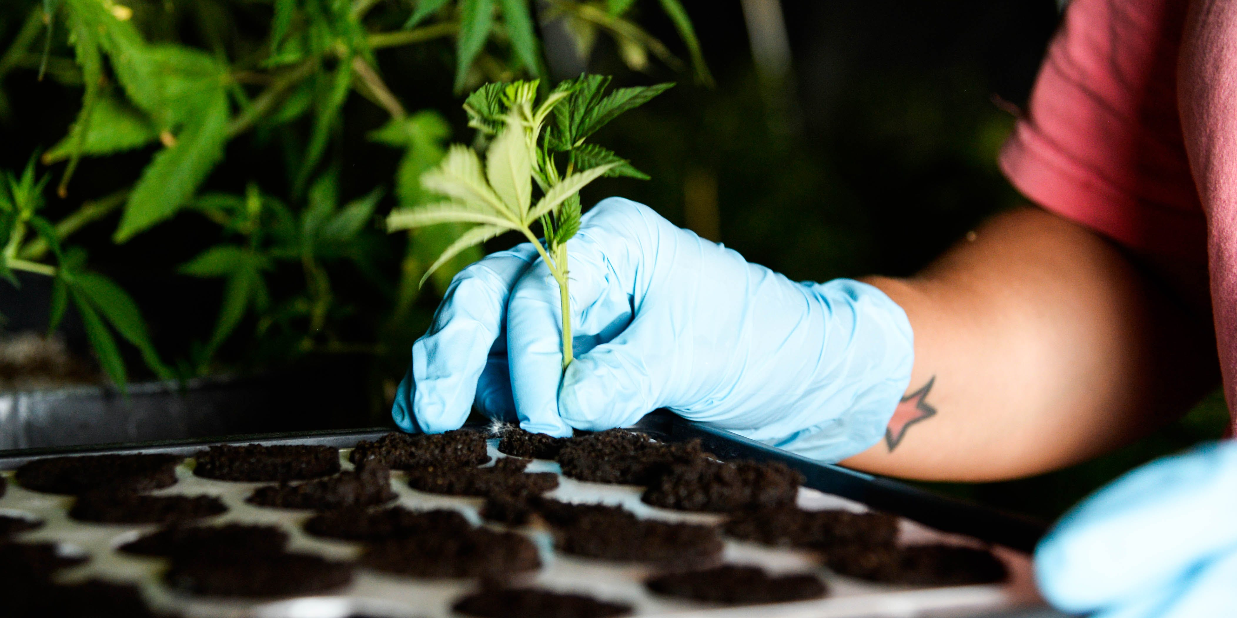 Someone plans a clone cannabis plant that will be used to produce hemp for CBD. California's recent ban on hemp-derived CBD leads to more confusion than clarification.